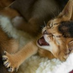 kucing-menguap-4
