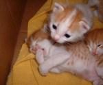 kucing-menguap-65