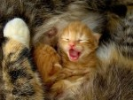 kucing-menguap-9
